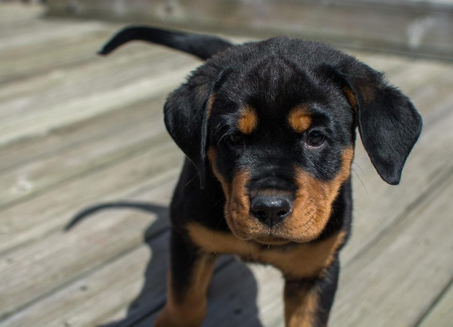 Rottweiler puppy photoshoot